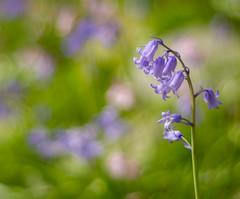 Bluebell Beauty (Katrina Wright) Tags: dsc7786 bluebells flowers macro blue bokeh spring floral