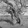 Lightning struck tree (Attila Pasek) Tags: 120 120film 6x6 hp5 ilford yashicaa analogue bw blackandwhite dry film lightning mediumformat struck tree winter