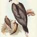 Ichthyiaetus leucosternus, Gould (White-bellied Sea Eagle)  Illustrated by Elizabeth Gould (1804–1841) for John Gould's (1804-1881) Birds of Australia (1972 Edition, 8 volumes). One of the most celebrated publications on Ornithology worldwide, Birds of Au