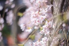 2018さくら 21 (sunuq) Tags: canon eos 5dsr ペッツバール ロモグラフィ lomography zenit petzval さくら 桜 2018 東京 日本 japan tokyo blossom flower ボケ bohek