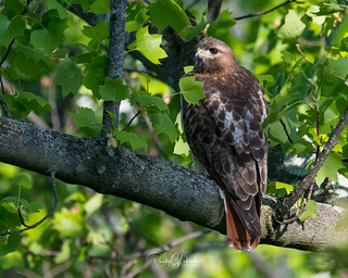 Red-tailed Hawk - Buteo jamaicensis | 2018 - 3