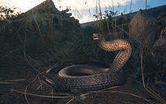 Eastern Brown (Kristian Bell) Tags: eastern brown snake victoria melbourne wildwildlife animal fauna venomous threat rubble urban kris kristian bell canon elapid