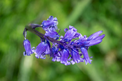 Bluebell in Close up (frontios) Tags: bluebell bluebells flower close up blue purple devon outdoors green woods woodland plant plants flora pentax k5