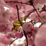 Cherry Blossom In Stockholm thumbnail