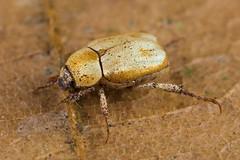 Hoplia sp. (NakaRB) Tags: malaysia borneo sarawak 2017 permairainforestresort insecta coleoptera scarabaeidae hoplia