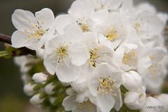 _DSC6711 (Adriano Clari) Tags: flowers flower fiori nontiscordardime garden giardino macro 50mm colori outdoor adriano clari fiore erba albero foglie pianta insetto ape farfalle campo