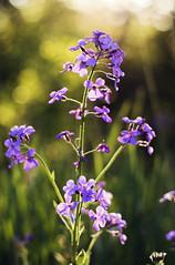 Dame's Rocket (Tiara Rae Photography) Tags: dames rocket noxious weed purple flowers plant species hesperis matronalis lilac lavender sun bokeh depth field spring nature omaha nebraska light golden hour evening