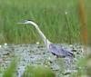 05-19-18-0018581 (Lake Worth) Tags: animal animals bird birds birdwatcher everglades southflorida feathers florida nature outdoor outdoors waterbirds wetlands wildlife wings