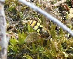 (1) syrphidae (BSCG (Badenoch and Strathspey Conservation Group)) Tags: acm insect diptera hoverfly syrphidae heathland woodlandedge