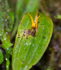 Lepanthes silverstonei (piazzi1969) Tags: elements lepanthessilverstonei lepanthes tatama tatamanationalpark colombia kolumbien canon eos 7d markii ef100mm nature orchids orchideen