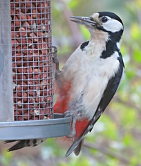 Greater-Spotted Woodpecker! ('cosmicgirl1960' NEW CANON CAMERA) Tags: birds garden peanuts feeder woodpecker greaterspotted nature wildlife devon yabbadabbadoo