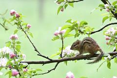 Chipmunk (Natures Joy Photography) Tags: montrosepointbirdsanctuary montrosepoint montroseharbor montroselincolnpark chicago illinois chipmunk sciuridae tamias