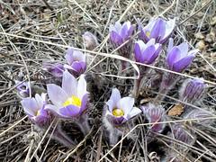 Crocus watch 2018 (altamons) Tags: altamons wildflowers spring flower flowers petal petals prairie foothills blossoms canada alberta crocus prairiecrocus