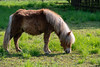 Berlin, Marzahn: Mini-Shetlandpony - Miniature Shetland pony on the pasture next to the historical village (riesebusch) Tags: berlin dorf marzahn