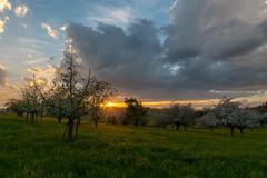 Fruit trees at sunset / Obstbäume beim Sonnenuntergang (NEX69) Tags: cantonoflucerne kantonluzern schweiz sigma1424mm128dg sonyalpha7rii switzerland fruittree obstbaum sunset mc11 sigmamc11 ebersecken