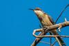 Eastern Spinebill - 25.04.2018-4 (Shane Allwood Photography) Tags: yellow spinebill bird australia australianbird