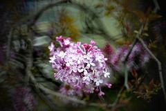 Flowers (MelindaChan ^..^) Tags: busan skorea 釜山 petal korean bloom blossom tree plant 花 chanmelmel mel melinda melindachan spring travel