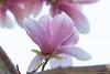 Saucer Magnolia (20180428-DSC02991) (Michael.Lee.Pics.NYC) Tags: newyork centralpark conservatorygarden magnolia flower bloom bokeh sony a6500 fe70300mmg