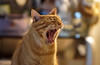 Burn out. (Canad Adry) Tags: nikon nikkor ais 105mm f25 sony alpha vintage old prime classic manual legendary lens bokeh portrait color orange mouth gueule boring yawn animal cat tongue langue