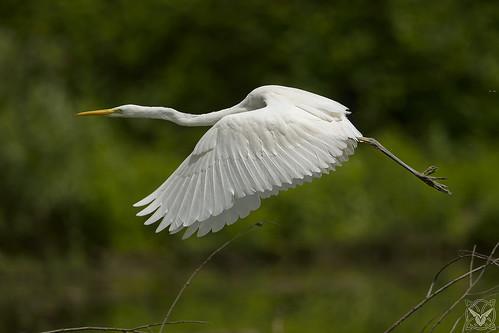 Ardea alba, Airone bianco maggiore, Grande Aigrette, great egret