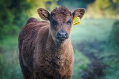Cute Calf (Stickyemu) Tags: cow calf bull farmland farm animal livestock suffolk countryside country nikond500 nikon200500mmf56