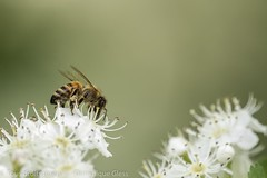 Bee at work (dom67150) Tags: nature animal insecte insect macro abeille bee