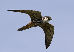 Hobby (falco subbuteo) (Steve Ashton Wildlife Images) Tags: falco subbuteo hobby falcon bird prey stodmarsh grove ferry kent sky animal hawk falcosubbuteo