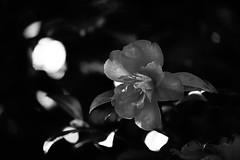 Camellia in the dark (Bl.Mtns.Grandma) Tags: camellia bw
