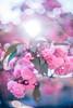 ILCE-7M2-09688-20180514-1822 // Vivitar VMC Auto 55mm 1:1.4 (Tomioka) (Otattemita) Tags: 55mmf14 florafauna vivitarcosina vivitartomioka vivitarvmc vivitarvmcauto55mmf14 fauna flora flower nature plant wildlife vivitarvmcauto55mm114tomioka sonyilce7m2 ilce7m2 sony cnaturalbnatural 55mm