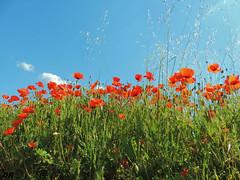 vague de coquelicots (danie _m_) Tags: naturepic wildflowers countryside colorful springtime lovenature flowerspower poppies flowers nature coquelicots fleurs campagne printemps