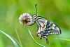 Old World swallowtail (Bakuman3188) Tags: old world swallowtail butterfly schmetterling insect insekt tier animal nature natur blumen pflanzen flowers plants germany deutschland grün green 蝶々 昆虫 虫 動物 緑 自然 花 植物 ドイツ canon canon80d canonphotography schwalbenschwanz キアゲハ