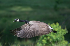 Canada Goose (ALF Papa (Mark)) Tags: mississippi flight canada goose