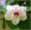 So Beautiful (FernShade) Tags: vancouver westend lagoondrive magnolia whitemagnolia magnoliaflower urbangarden nature urbannature flower macro blossom
