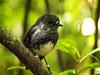 north island robin (AlistairKiwi) Tags: nz newzealand olympus omd landscape travel wellington north island bird zealandia tree