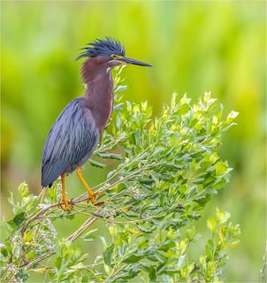 Green Heron ( Lookout )