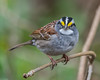 How bout them yellow eyebrows (Fred Roe) Tags: nikond810 nikkorafs80400mmf4556ged nikonafsteleconvertertc14eii nature wildlife birds birding birdwatching birdwatcher sparrow whitethroatedsparrow zonotrichiaalbicollis peacevalleypark