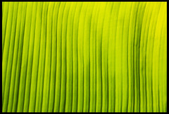 Banana leaf macro (spencerrushton) Tags: spencerrushton spencer rushton canon canonlens canonl colour canon5dmkiii 5dmk3 5dmkiii 100mm usm100mmgardengardensmanfrottomanfrotto canon100mmf28lmacroisusm efcanon100mmf28lmacroisusm manfrottotripod manfrotto macro green leaf rhs rhswisley wisley garden gardens plant park purpleport light bananaleaf walk macroleaf leafs leaves