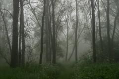 Wilgenbos - Willow forest (naturum) Tags: 2018 bos diemen diemervijfhoek fog forest geo:lat=5234538132 geo:lon=502186775 geotagged holland lente may mei mist nederland netherlands pad path pentecost pinksteren spring voorjaar whitsunday wilg wilgenbos willow noordholland nld