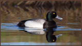 Lesser Scaup Grrr no me now thinks Greater!!