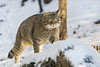 Walking in the snow (Tambako the Jaguar) Tags: wildcat feline cat male walking portrait snow winter cold standing wildpark tierparklangenberg zürich switzerland nikon d5