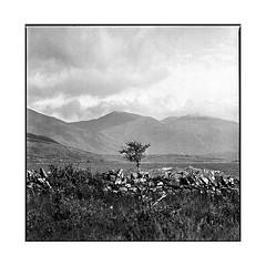 alone • mull, scotland • 2017 (lem's) Tags: alone lonely tree arbre seul mull isle ile scotland alba ecosse zenza bronica