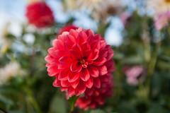 _MG_9964 (mhorell14) Tags: flower dahlia ideagarden inthegardens longwoodgardens plant