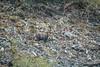 _MG_7714.jpg (Hans Van Loy) Tags: beren bruinebeer carnivora dieren gewervelden roofdieren zoogdieren