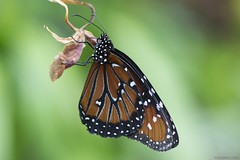 Butterfly 2018-12 (michaelramsdell1967) Tags: butterfly butterflies macro nature animal animals beauty beautiful insects insect green bokeh vivid vibrant upclose closeup pretty monarch monarchs spots wing photography plant meadow spring bug bugs garden lovely zen