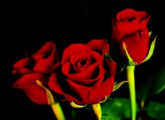 Red red roses (tiggerpics2010) Tags: flowers floral redroses love