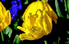 Rosée brillante (Diegojack) Tags: morges vaud suisse fêtedelatulipe parc indépendance fleurs printemps closeup brillance rosée gouttes d7200