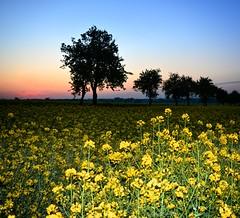 Trust your heart (Tobi_2008) Tags: frühling spring rapsfeld bäume trees sonnenaufgang sunrise himmel sky landschaft landscape sachsen saxony deutschland germany allemagne germania