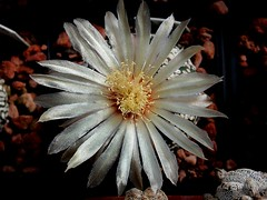 Astrophytum asterias 'Super Kabuto' flower (Skolnik Collection) Tags: asterias super kabuto flower succulent cactus mexico skolnik collection propagation fitotron fytotron macro photo digital camera benq selected hybrid multiflower detail nature close nursery