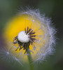 Dandelion Seed Head and Flower (fotographis) Tags: dandelion flower seed yellow garden fuji gfx gfx50s nikkor 200mm micronikkor macro extensiontube closeup
