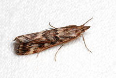 Cotton Web Spinner,  Achyra affinitalis
